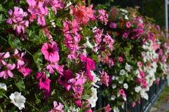 Flowers along Fence Stock Photo