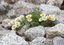 Flowers of Alpine Buttercup Stock Images