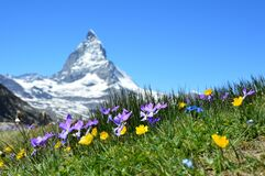 Flowers in Alpine meadow
