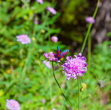 Flowers in alpine meadow. Stock Photo