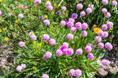 Flowers in alpine meadow Royalty Free Stock Photos
