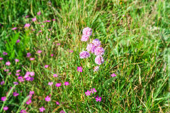 Flowers in alpine meadow. Stock Photography