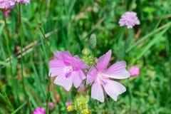Flowers in alpine meadow Royalty Free Stock Photo