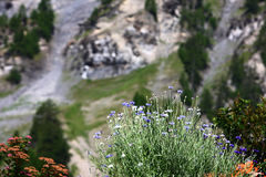 Flowers in Alps Stock Image