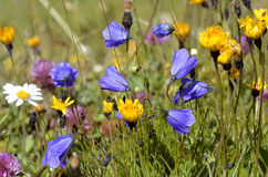 Flowers of Alps French Royalty Free Stock Image