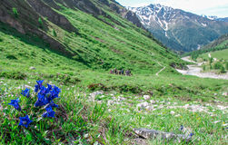 Flowers in the Alps in summer Royalty Free Stock Image
