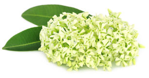Flowers of Alstonia scholaris Stock Images