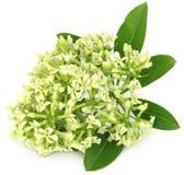 Flowers of Alstonia scholaris Royalty Free Stock Photo