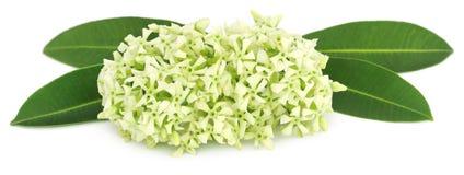 Flowers of Alstonia scholaris Royalty Free Stock Image