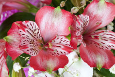 Flowers alstroemeria Royalty Free Stock Photo