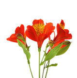 Flowers of  Alstroemeria Royalty Free Stock Images