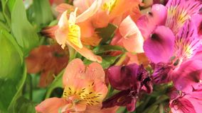 Flowers alstroemeria attentive spring water, greetingrain, gardening rose. Flowers alstroemeria water rain rose greeting gardening attentive spring stock video footage