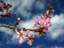 Flowers Amazing colors. The amazing colors of peach flowers near Villasimius (Sardinia - Italy Royalty Free Stock Photo