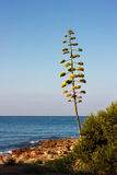 Flowers of the american Agave plant on blue sky. Century plant, Maguey, or American aloe (Agave americana) Royalty Free Stock Images