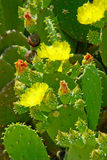 Flowers And Green Buds On Green Cactus Leaves Stock Photo