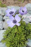Flowers anemone blooming in the garden. Blooming spring flowers in the garden Stock Images
