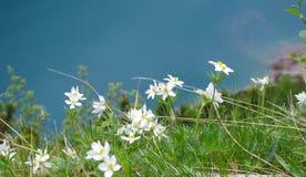 Flowers of Anemone narcissiflora Stock Image
