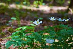 Flowers Anemone ranunculoides blossomed in spring forest Stock Photo