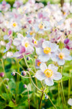 Flowers anemones Japanese in a garden, a close up Stock Image