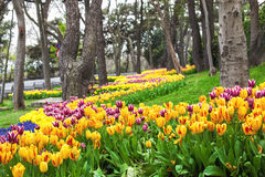 Flowers during the annual April tulip festival in Istanbul in Yildiz Park Royalty Free Stock Photos