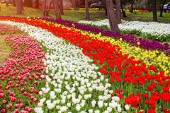 Flowers during the annual April tulip festival in Istanbul in Yildiz Park Stock Photo