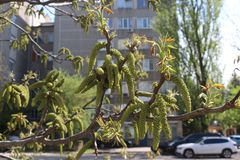 Flowers appeared on a nut tree in spring. Nuts ripen in three months royalty free stock images