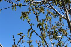 Flowers appeared on a nut tree in spring. Nuts ripen in three months royalty free stock photography