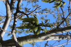 Flowers appeared on a nut tree in spring. Nuts ripen in three months stock images
