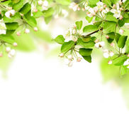 Flowers of apple Stock Images
