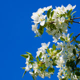 Flowers of apple Stock Photography