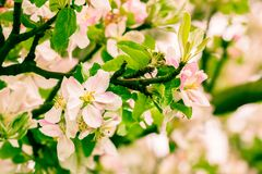 Flowers  apple Royalty Free Stock Images