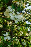 Flowers of apple on a branch against a blue sky.Early spring. stock photos