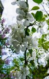 Flowers of apple on a branch against a blue sky.Early spring royalty free stock image