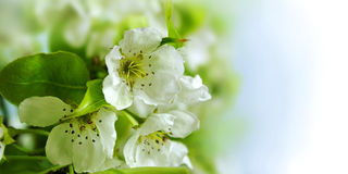 Flowers of apple Stock Photos