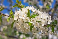 Flowers of apple. Stock Photos