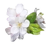 Flowers of Apple Royalty Free Stock Image