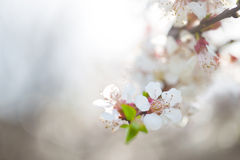 Flowers of apple Royalty Free Stock Images
