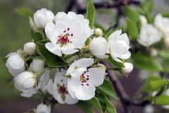 Flowers of apple in spring. Spring flowers royalty free stock images