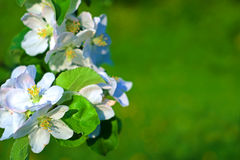 Flowers of apple. Royalty Free Stock Photo