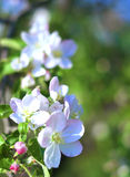 Flowers of apple. Royalty Free Stock Photos
