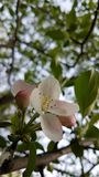 Flowers of the apple tree. Stock Photography