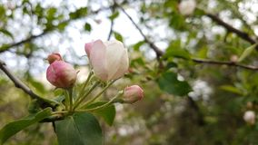 Flowers of the apple tree. Stock Photo