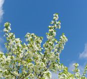 Flowers of apple tree. Spring blooming brunches of apple tree on blue sky Stock Photos