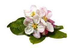 Flowers of apple-tree Royalty Free Stock Photos