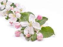 Flowers of apple-tree Royalty Free Stock Photos