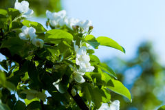 Flowers of apple tree Stock Photos