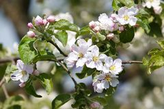 Flowers apple-tree Stock Photos