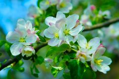 Flowers of apple tree abstract Royalty Free Stock Photos