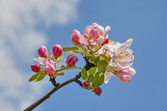 Flowers of apple tree against blue sky Stock Photo