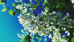 Flowers from apple tree Stock Photos